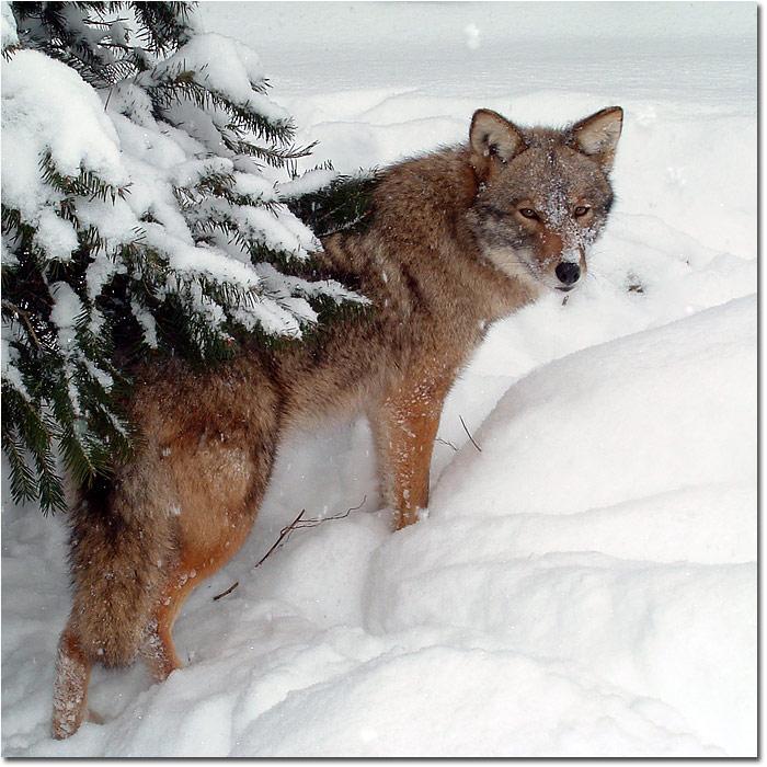 coyote_jw1208-2
