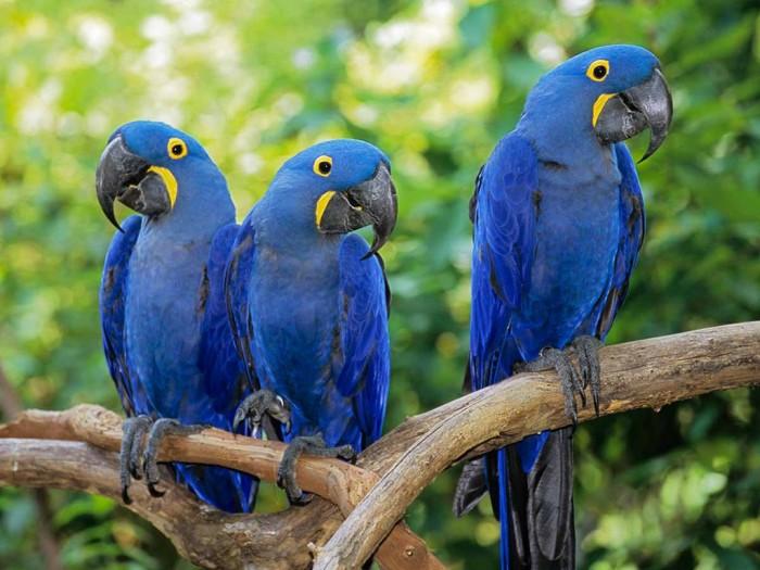 hyacinth macaw grup