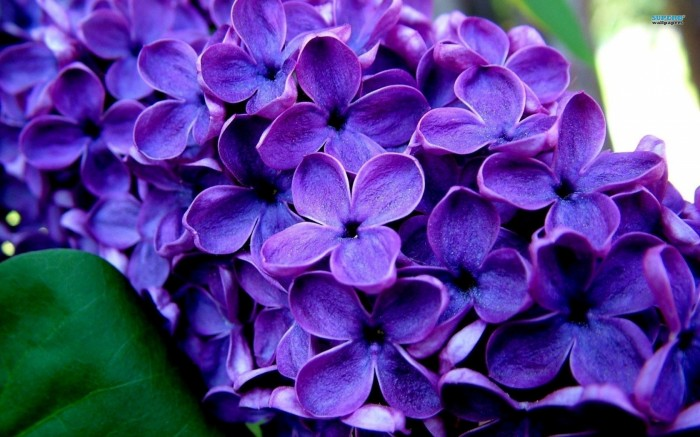 lilac_flower_wallpaper_2-1680x1050