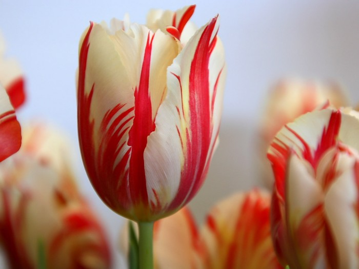 red-striped-tulip-hd-wallpapers-cool-desktop-background-images-widescreen