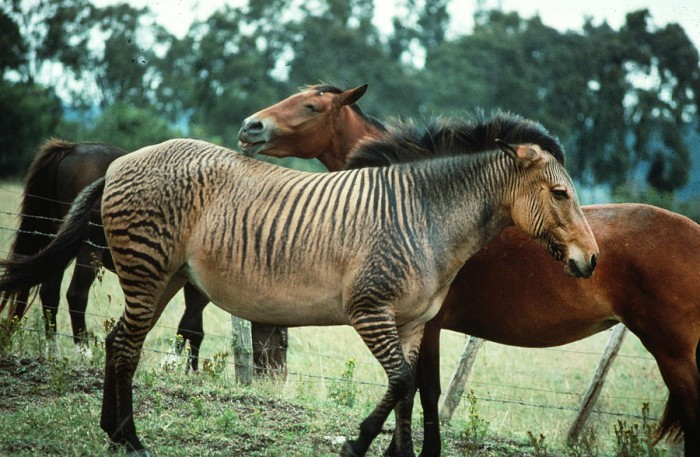 zebroid-in-kenya-carl-purcell
