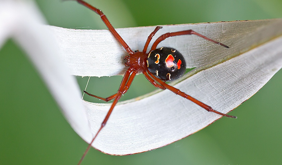 Photo of Top 10 Most Poisonous Spiders in The Whole World