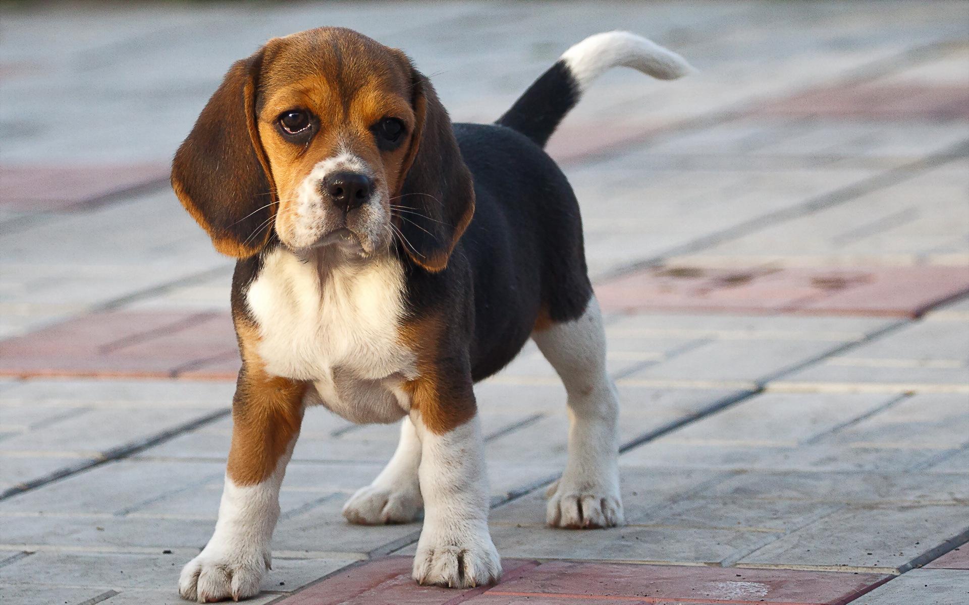Beagle-Dog-Breed