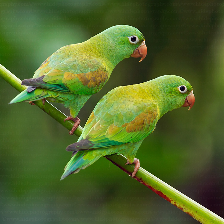 Brotogeris Parakeets