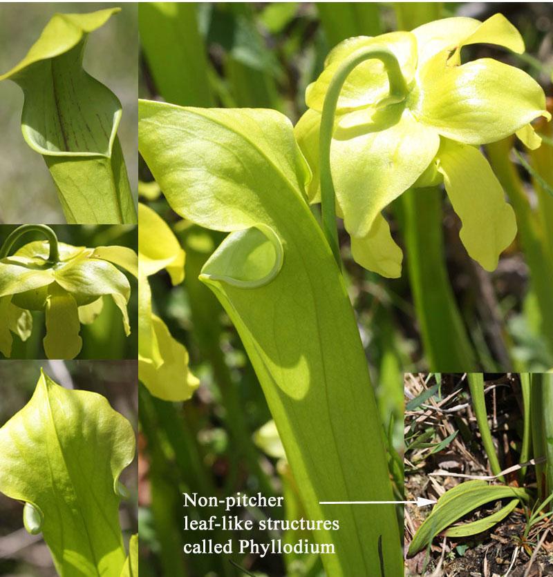 Green pitcher plant