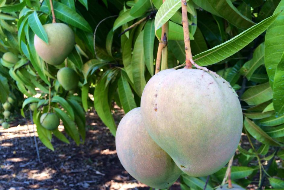 Northern Territory Mangos