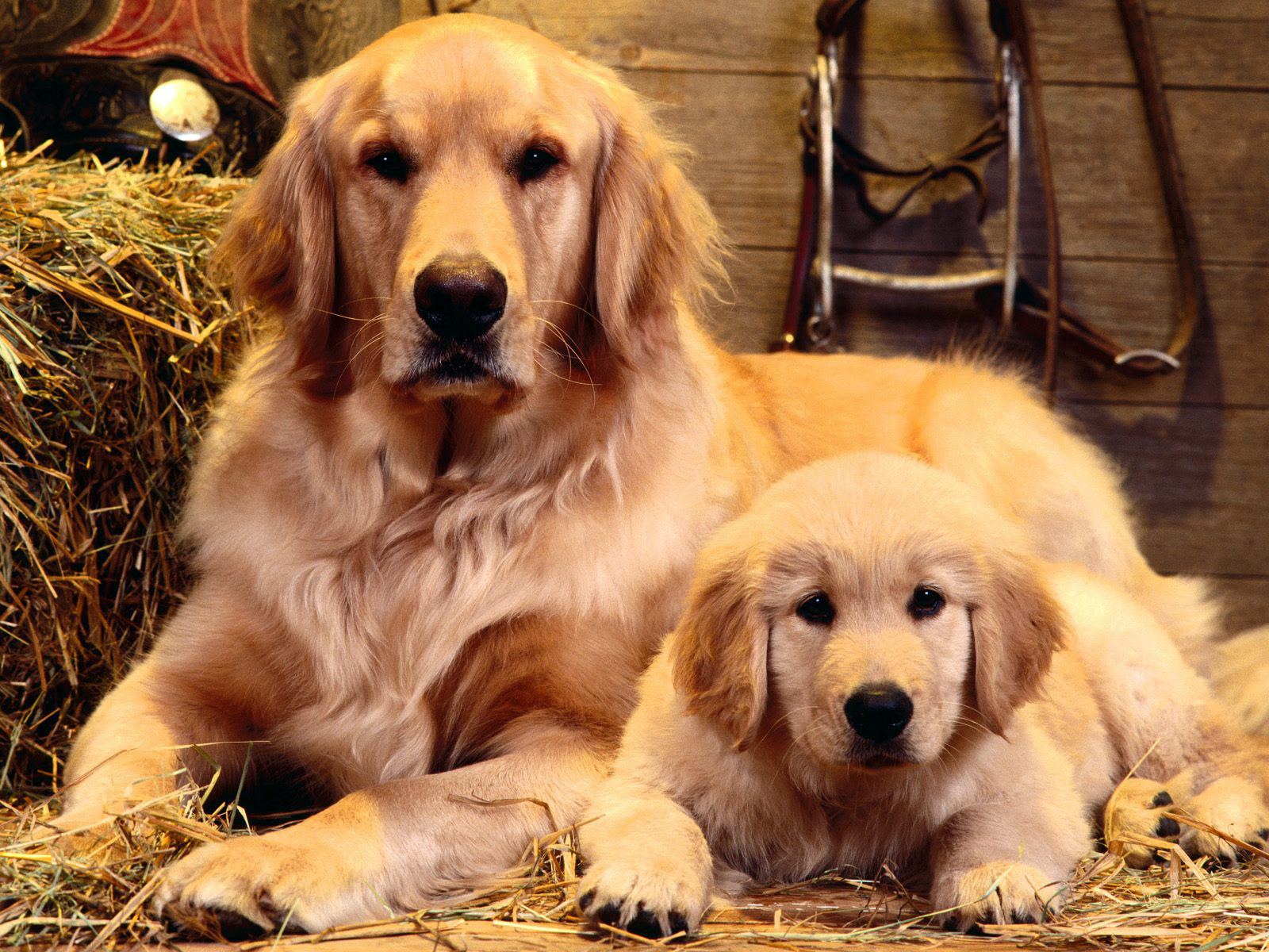 Qualities-of-Golden-Retriever3