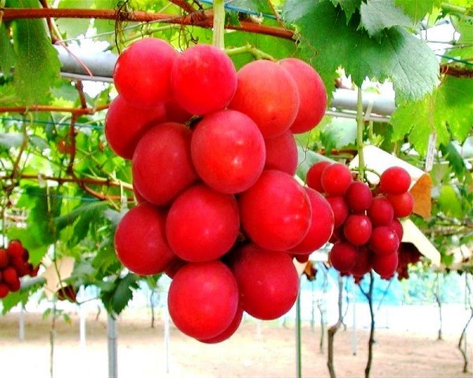 Ruby Roman Grapes1