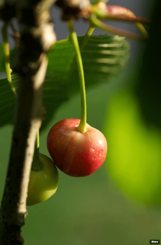 The Cherry Tree Anecdote