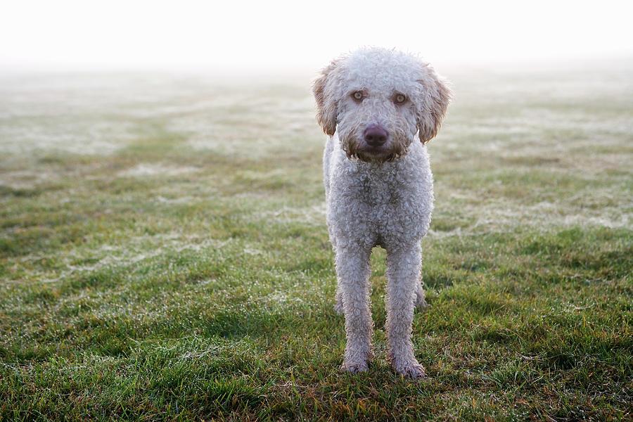 a-spanish-water-dog-standing-a-field-julia-christe