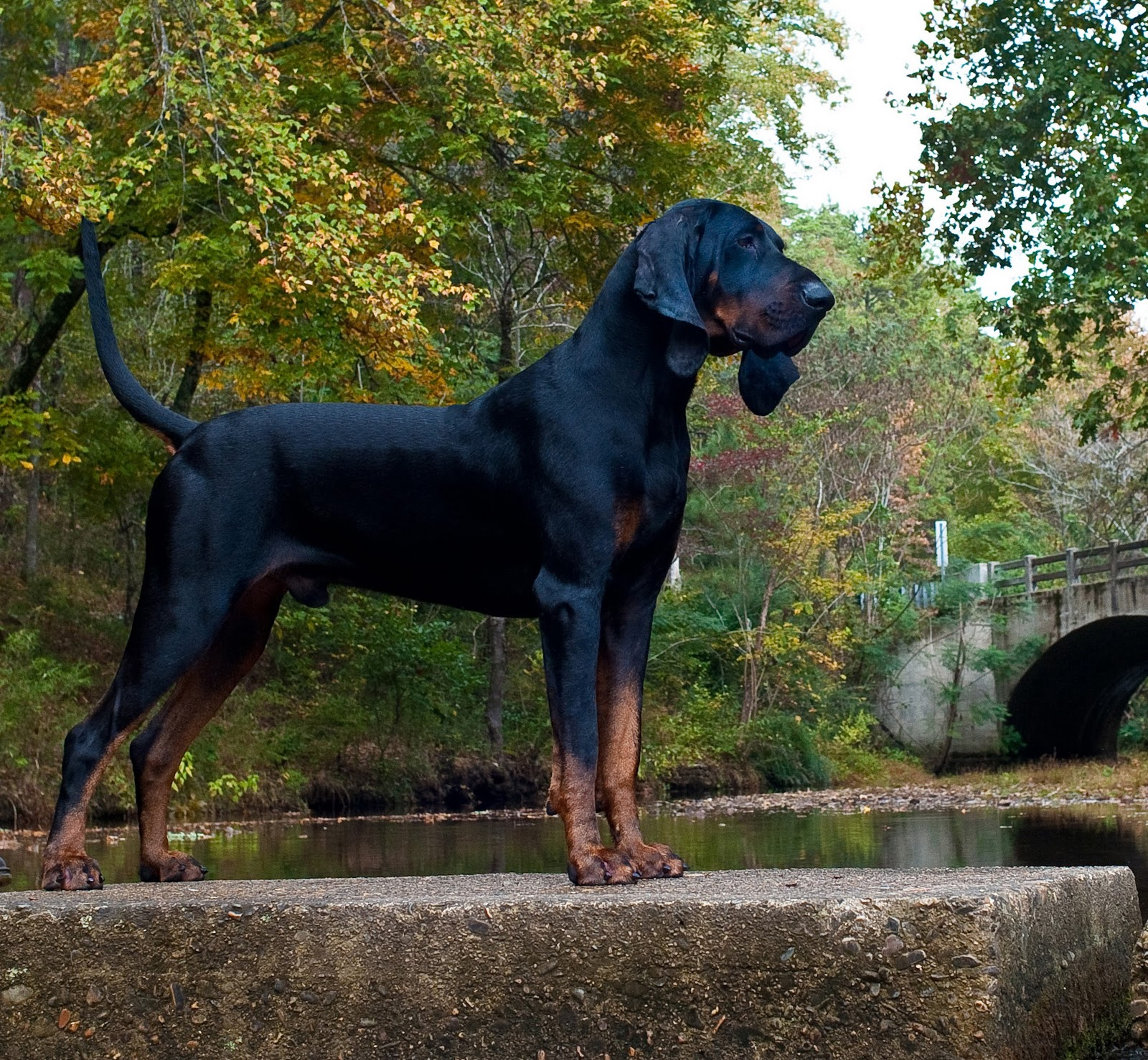 black-and-tan-coonhound-1