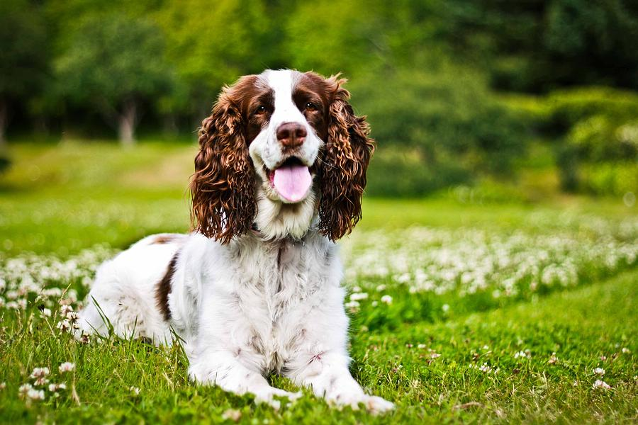 english-springer-spaniel-asta-viggosdottir