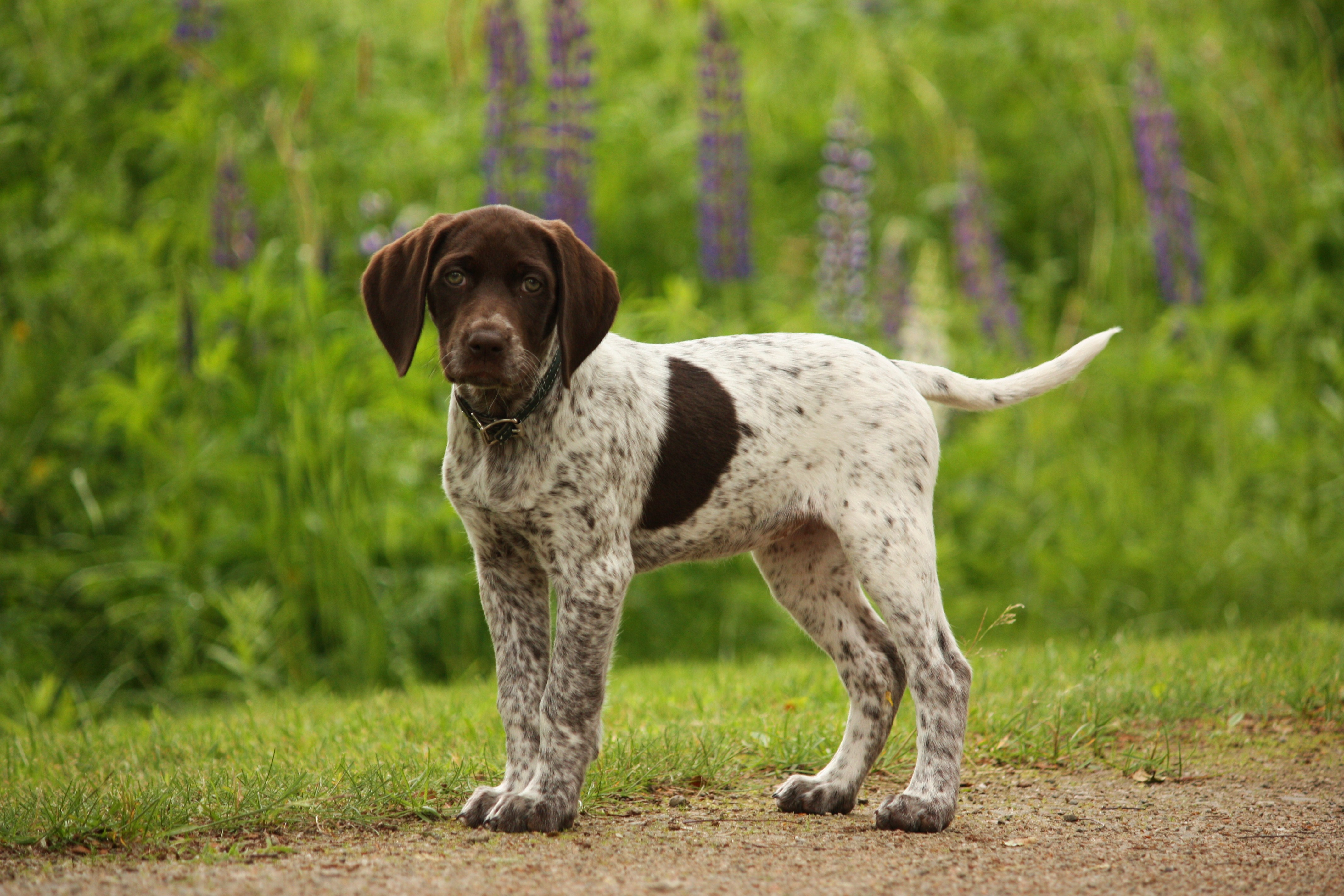german-shorthaired-pointer7