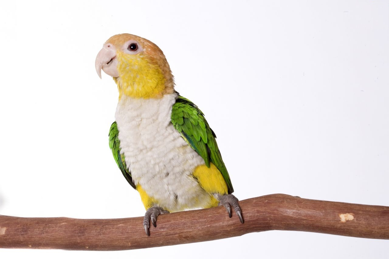 parrot-species-the-caique-5337081e130d0