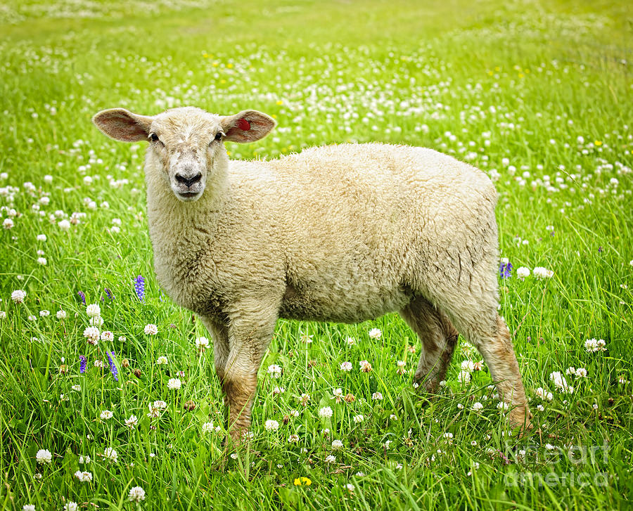 sheep-in-summer-meadow-elena-elisseeva