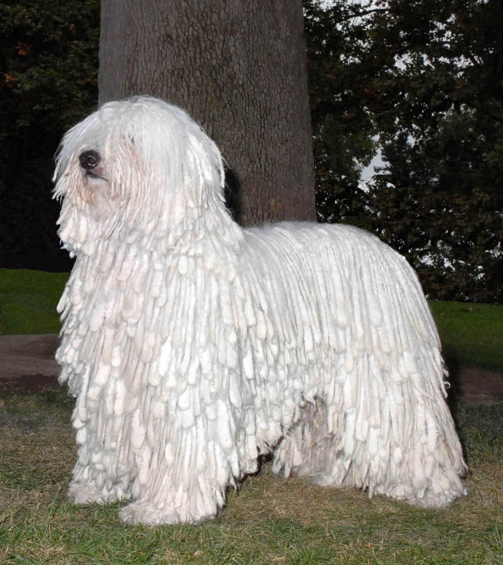 white-komondor-dog-near-the-tree-wallpaper