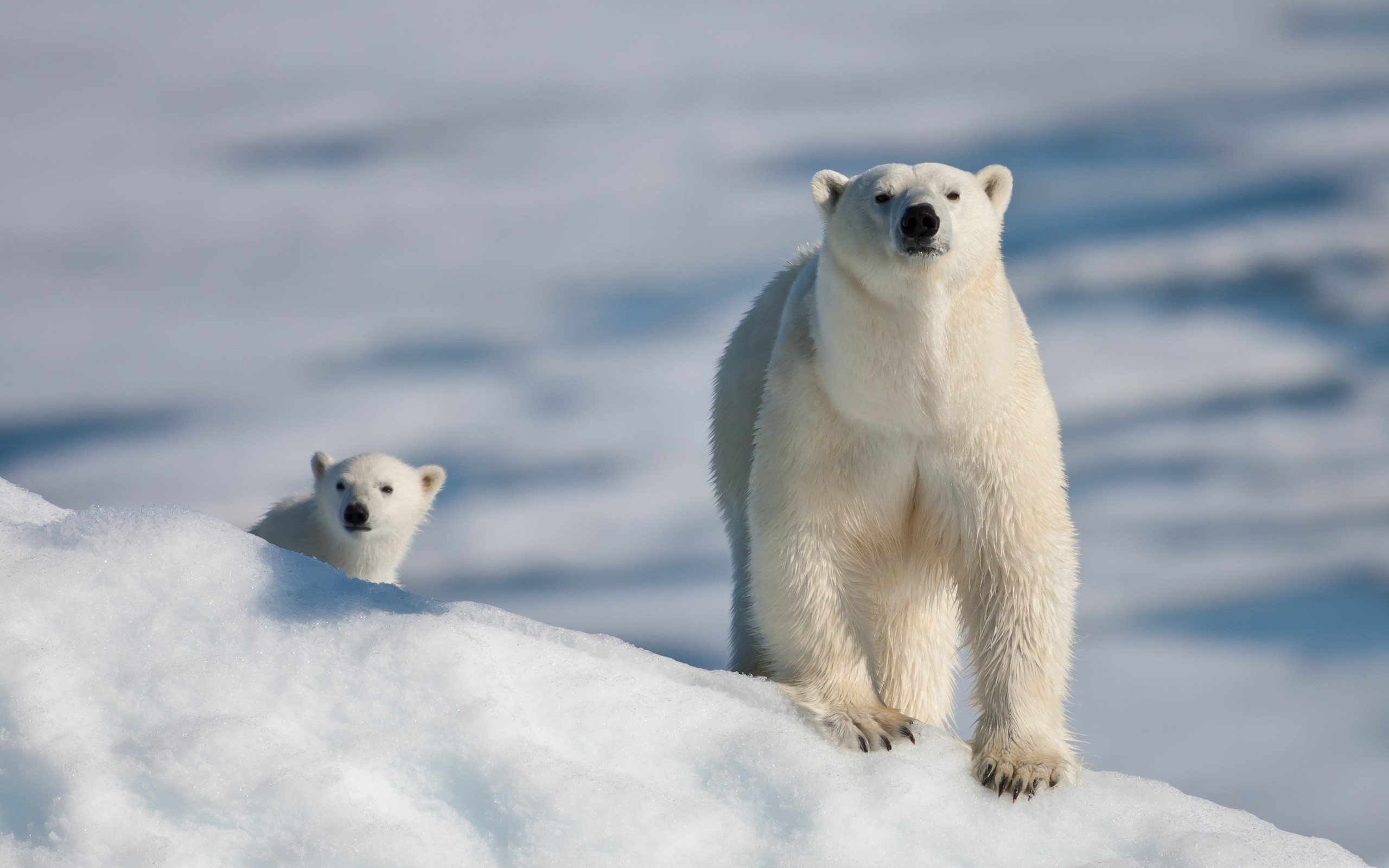 bear-and-cub-at-the-north-pole