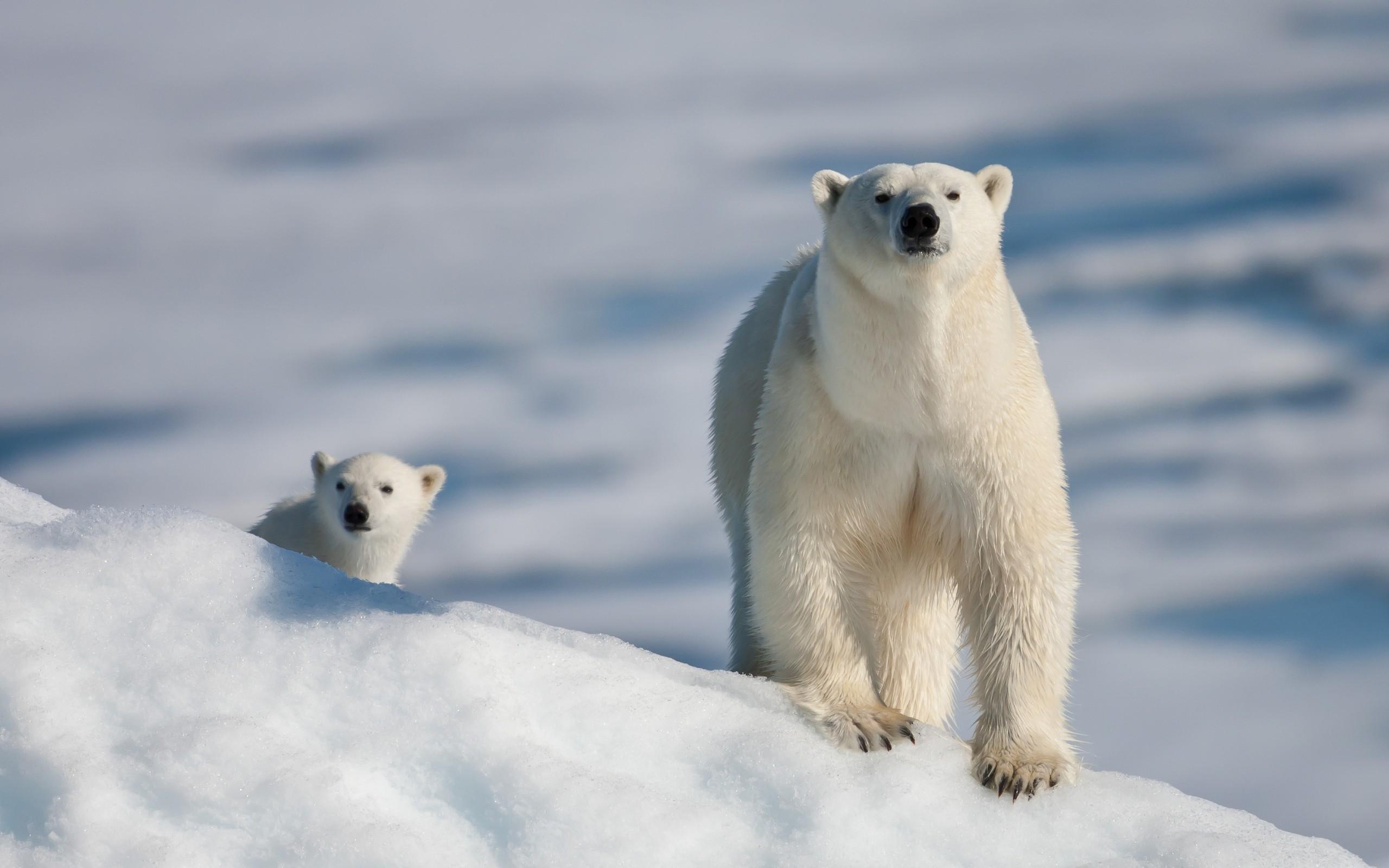 bear-and-cub-at-the-north-pole