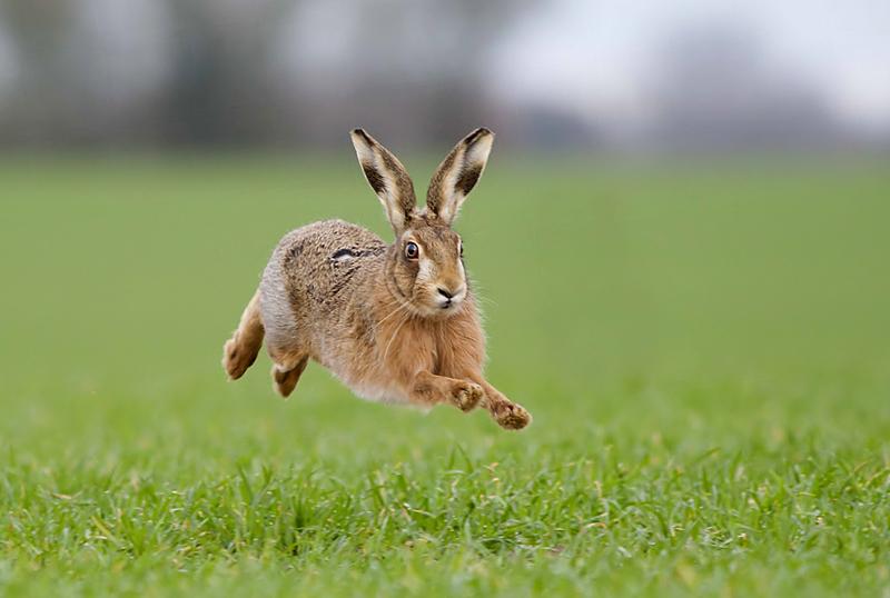 european-brown-hare