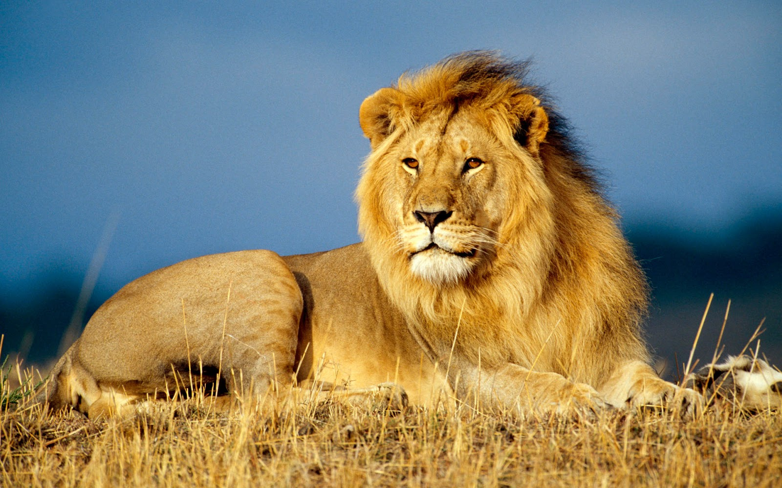 Photo of Top 10 Interesting Facts About Lions