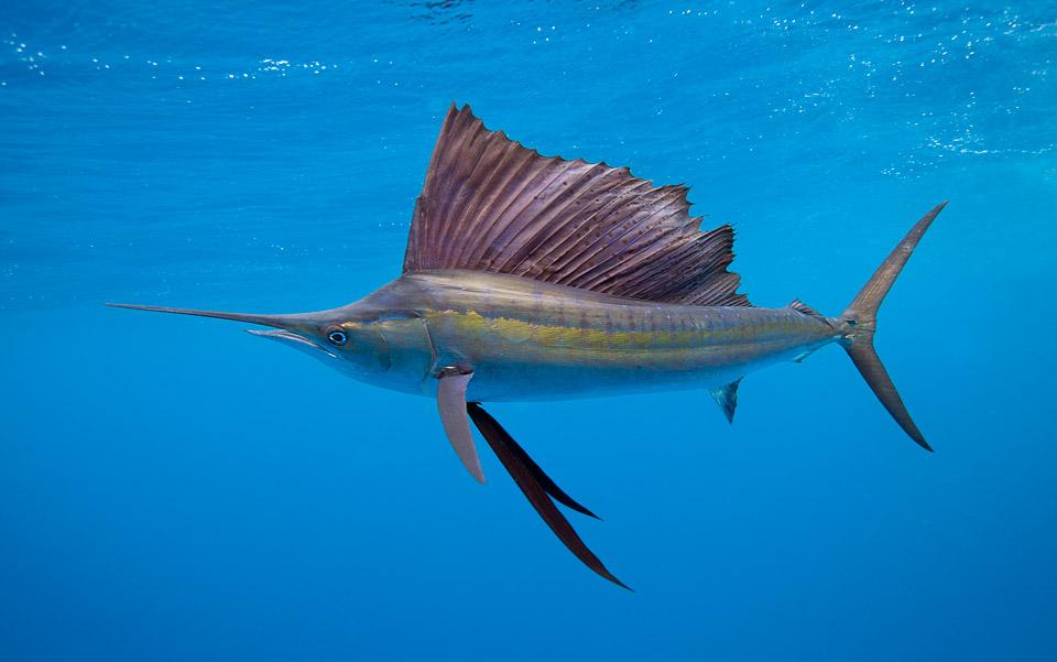 sailfish-mexico