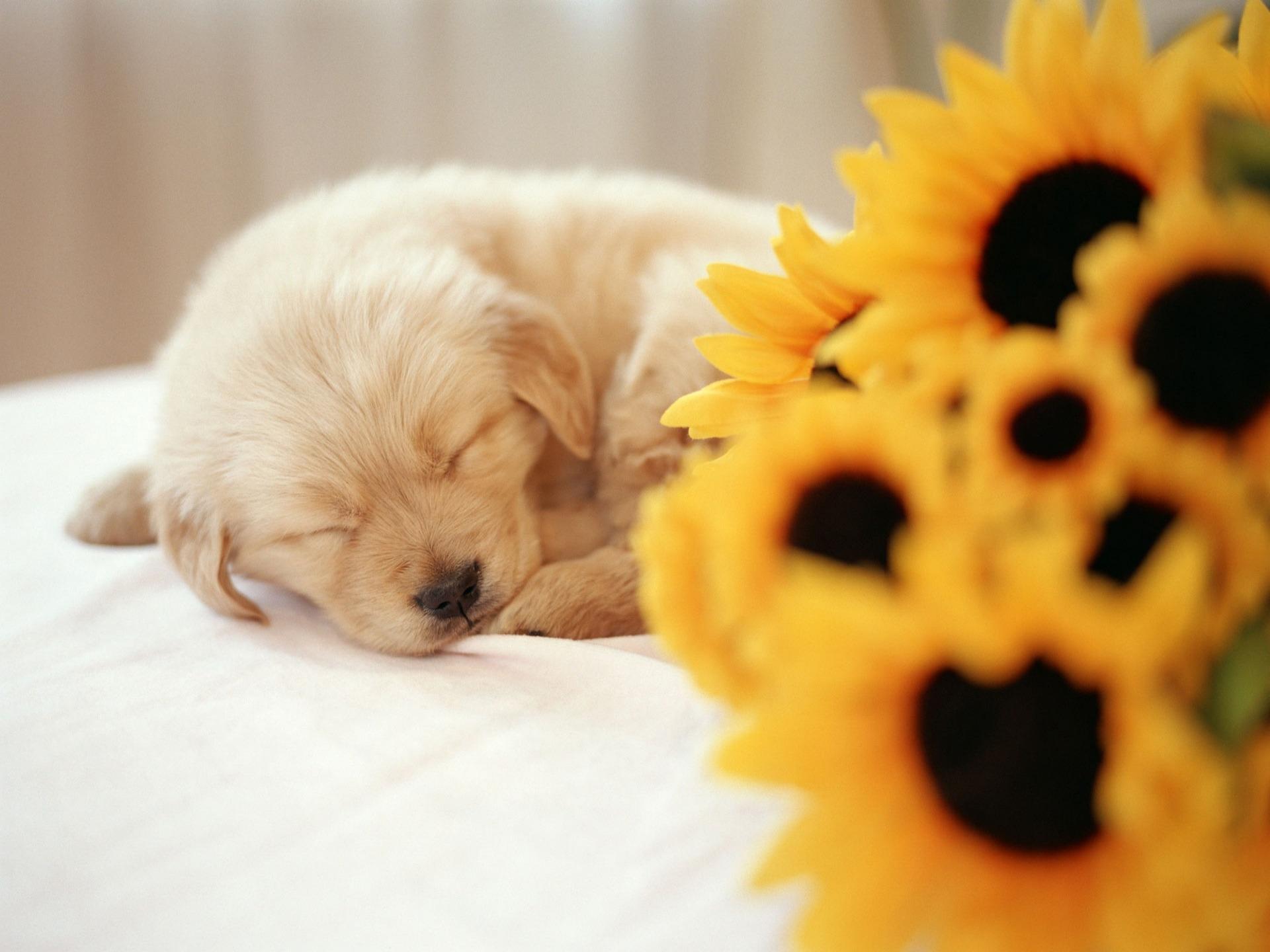 sleeping-puppy-wallpaper-dogs-animals_00429279