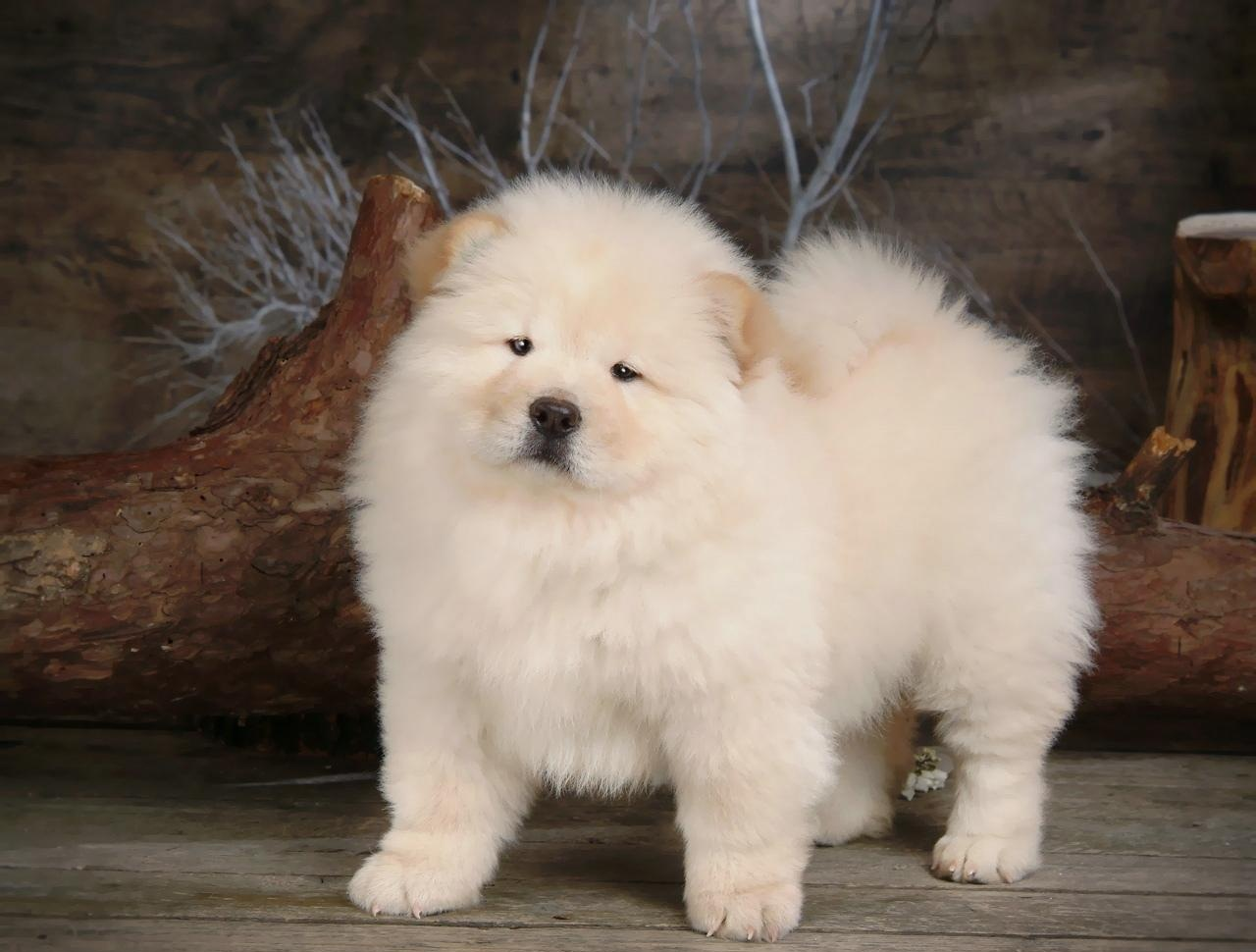 Chow-Chow-Puppy-Wallpaper-puppies-13936840-1280-1024