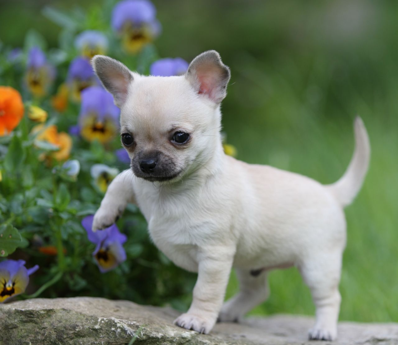 Top 10 Most Aggressive Small Dog Breeds In The World