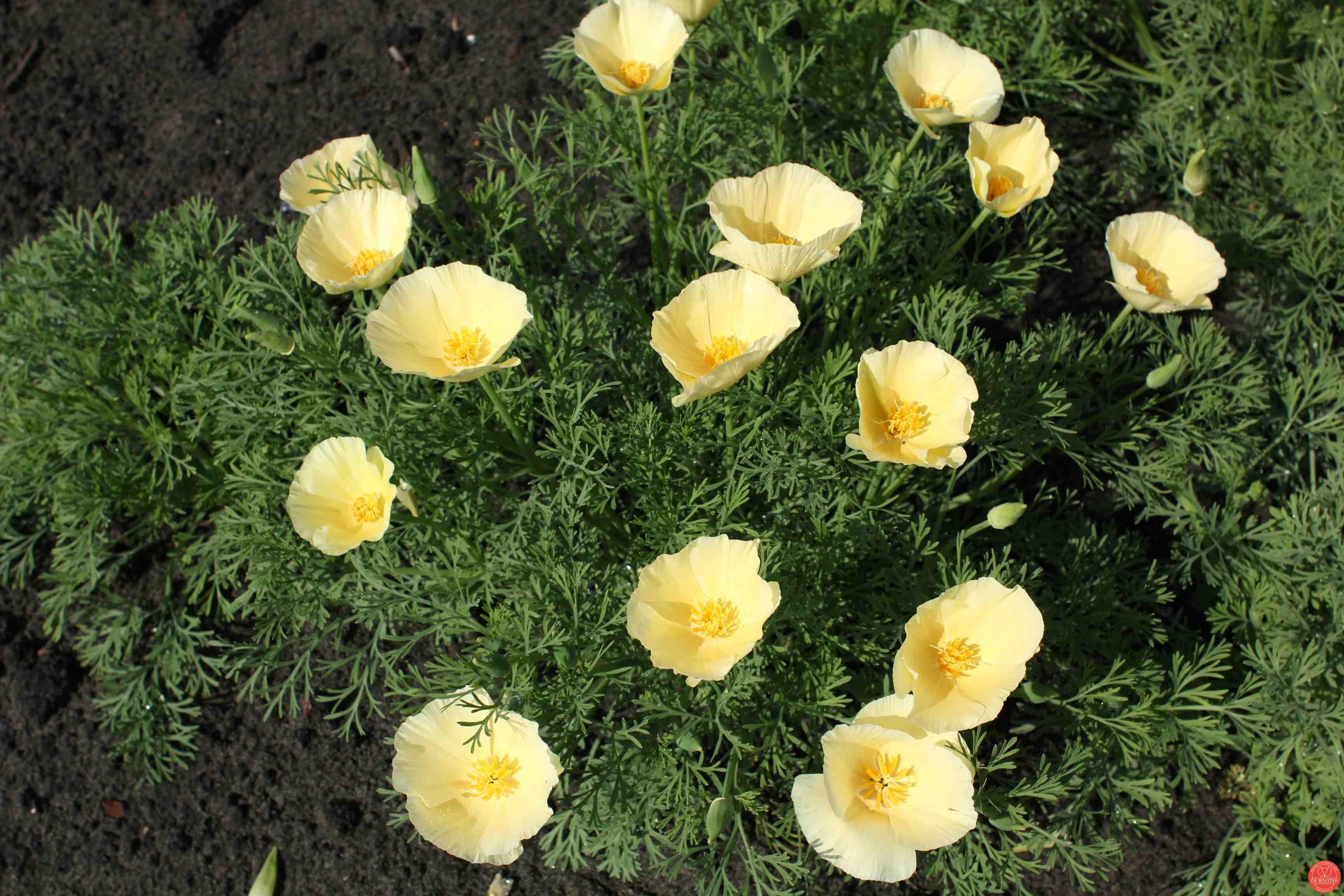 Eschscholzia-californica--Slaapmutsje-creme-16