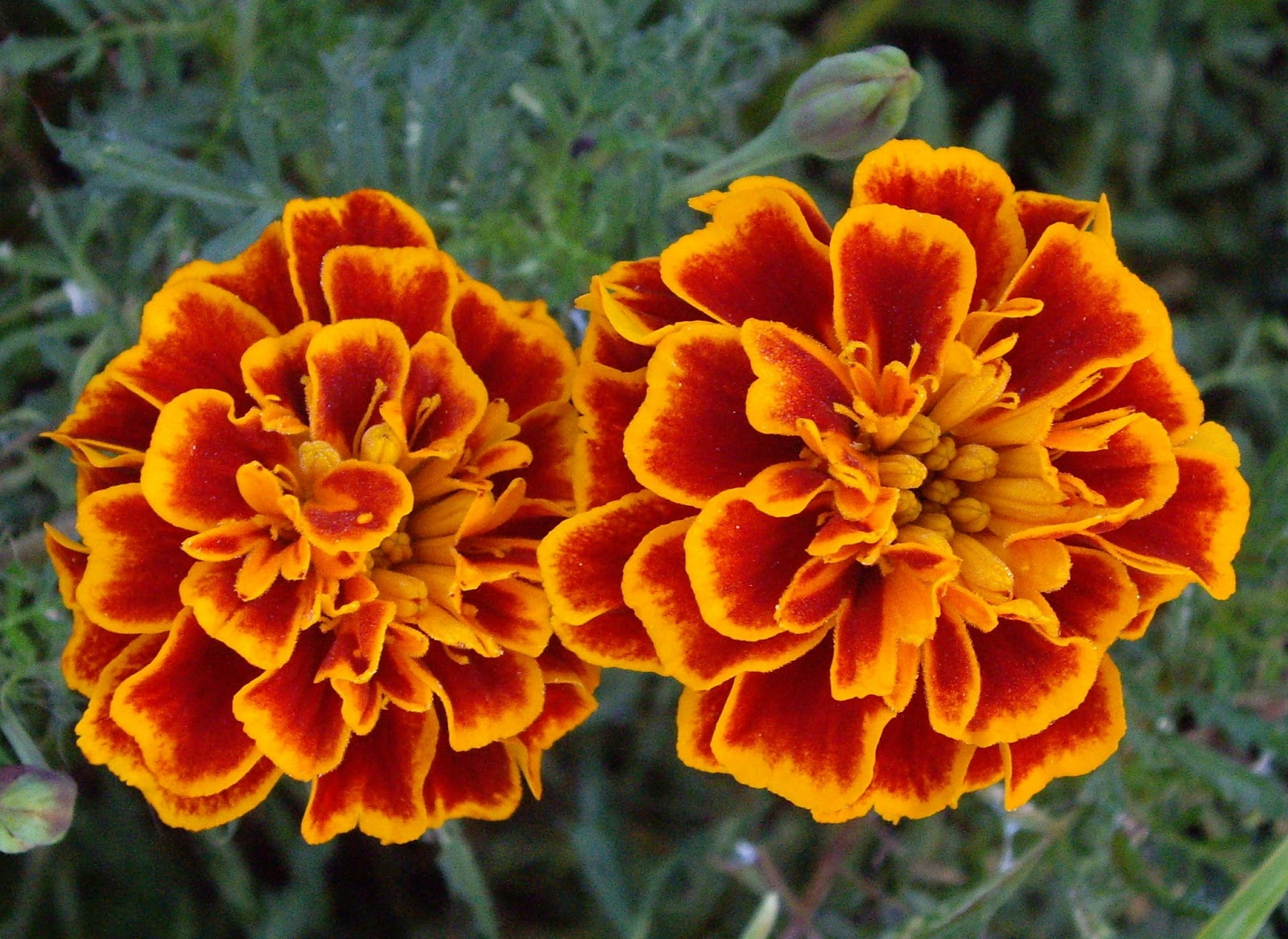 Marigold+Flowers+Wallpaper