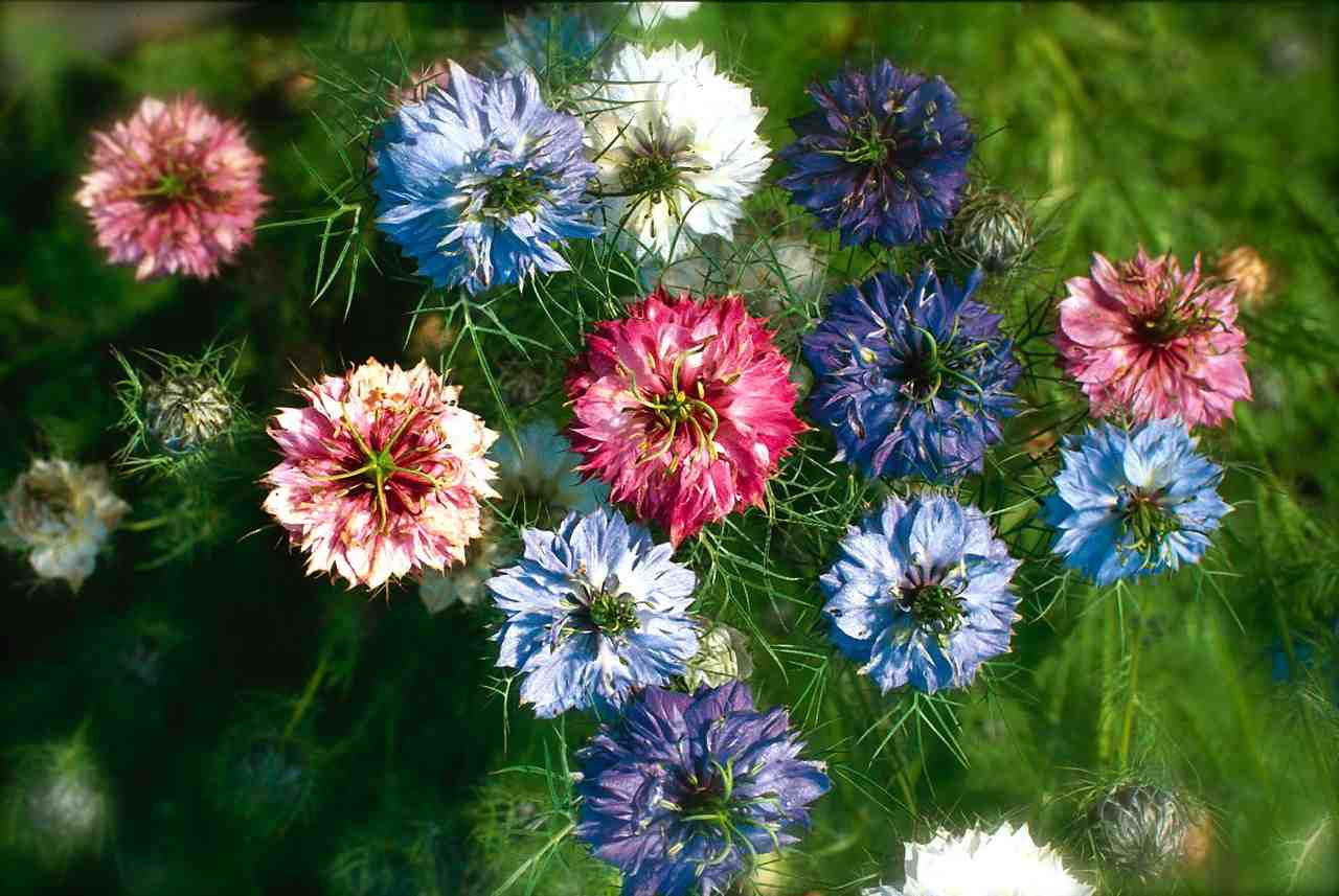 Nigella-Persian-Jewels