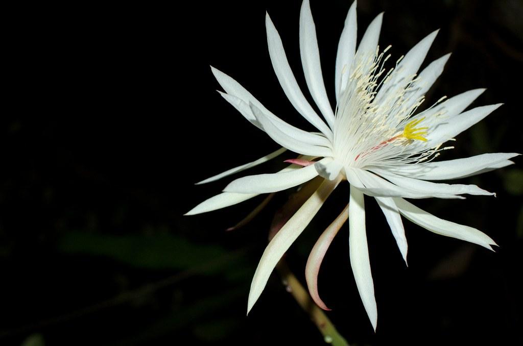 Kodupul Flower