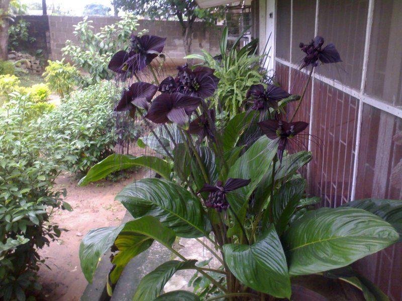 Black Bat Flower