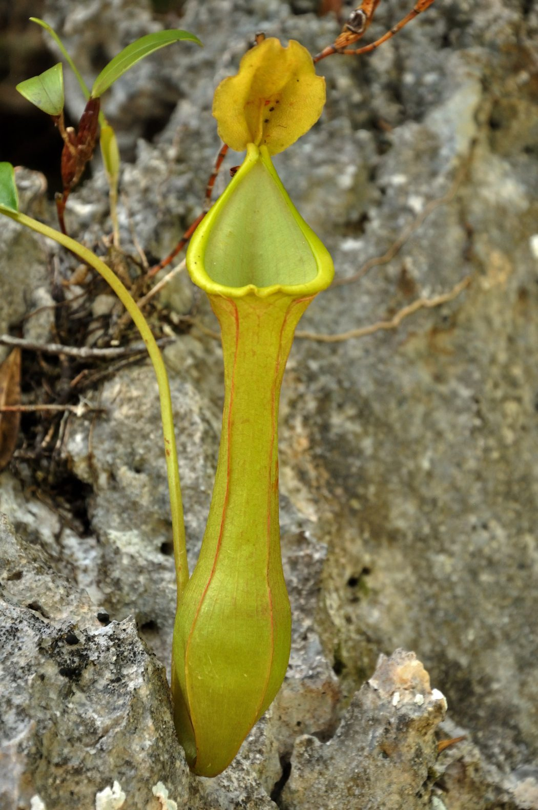 Nepenthes Tenax