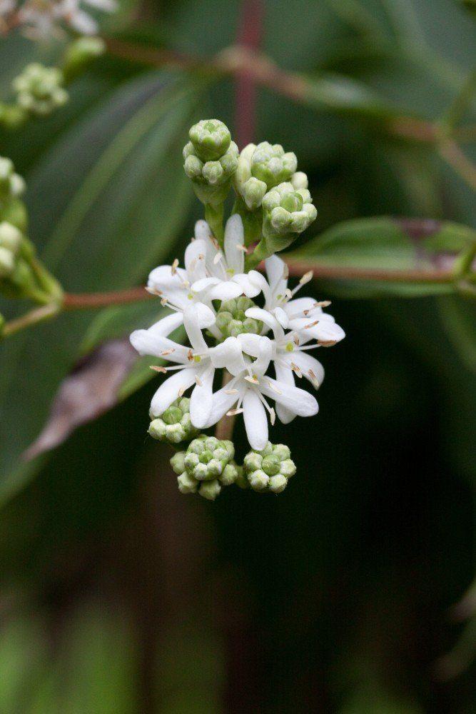 Seven-Son flower
