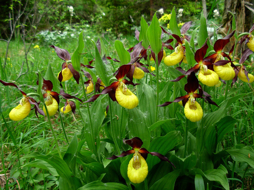 Yellow and Purple Lady Slippers