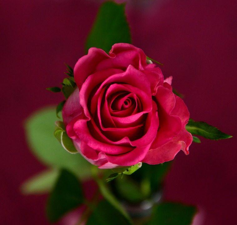 go lovely rose essay