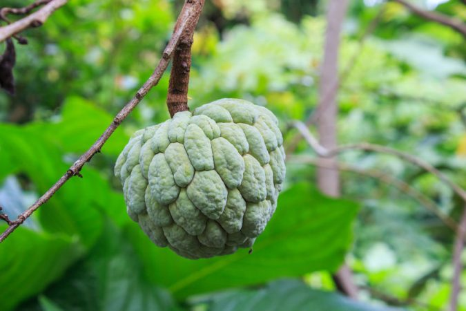 Custard Apple2
