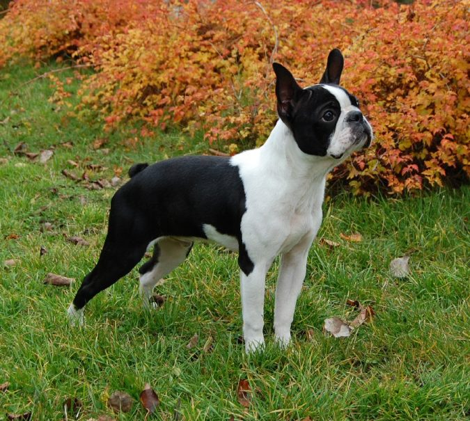Boston Terrier Uncommon Dogs2