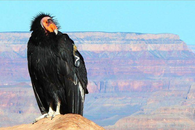 California Condor Unusual Birds1