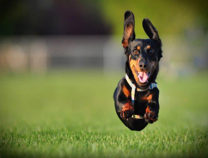 Dachshund Dogs1