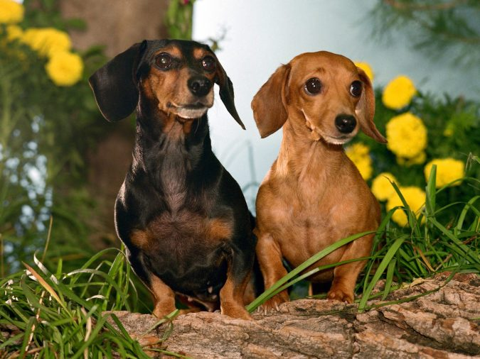 Dachshund Dogs2