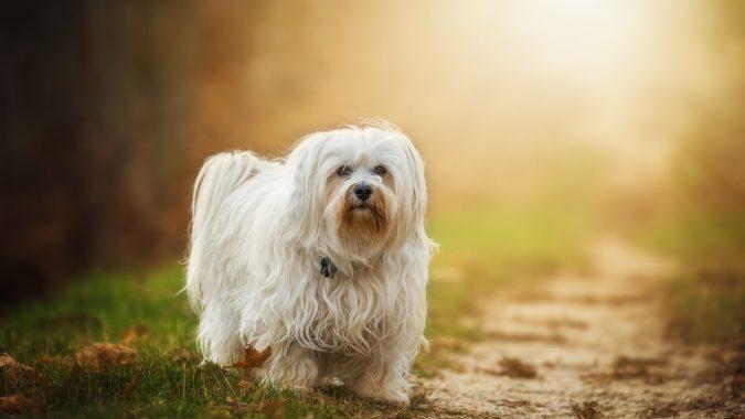 Havanese Dog breed1