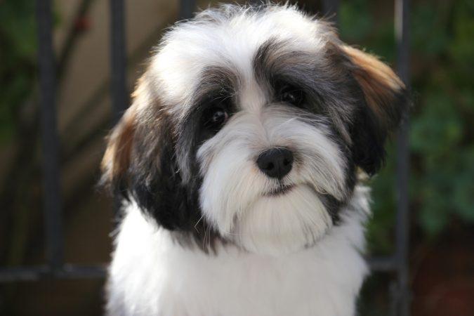 Havanese Dog breed3