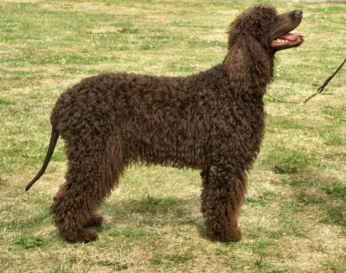 Irish Water Spaniel Dog Breed1