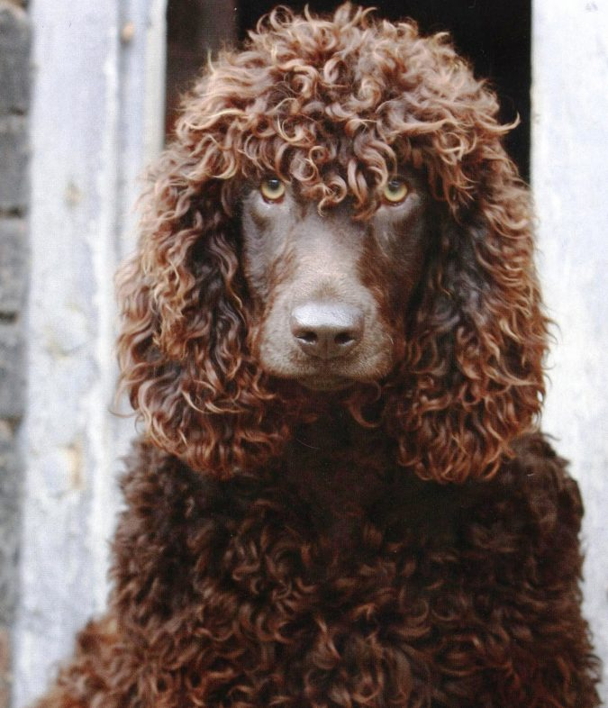 Irish Water Spaniel Dog Breed2