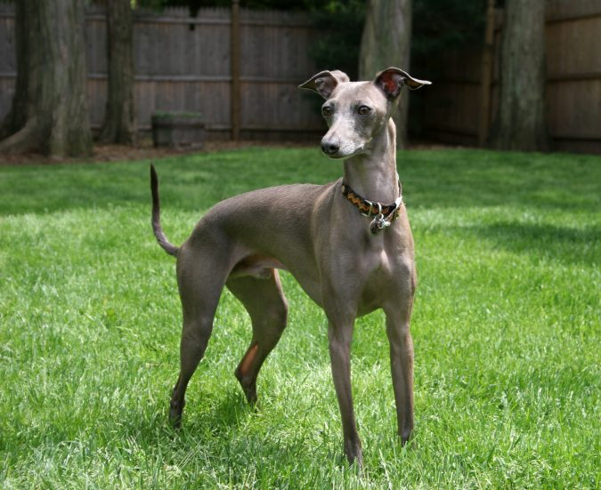 Italian Greyhound Dog1