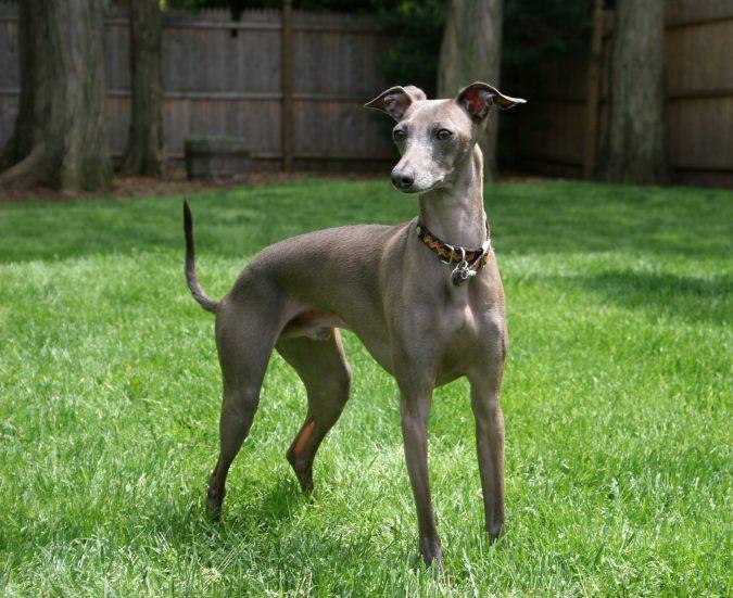 Italian Greyhound Dog1
