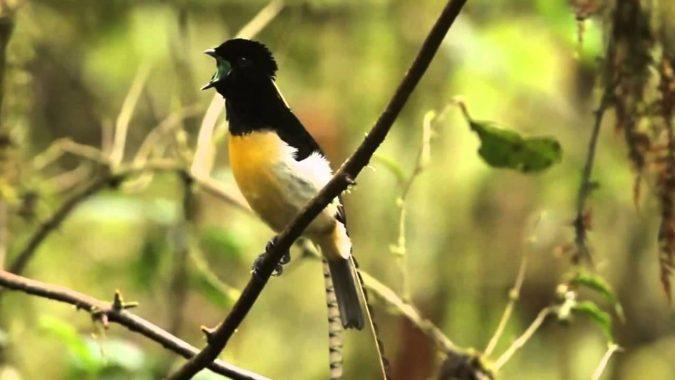 King of Saxony Bird of Paradise1