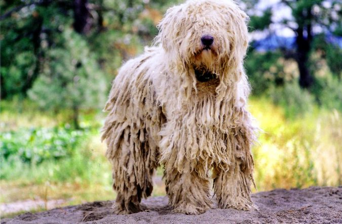 Komondor Unusual Dogs1